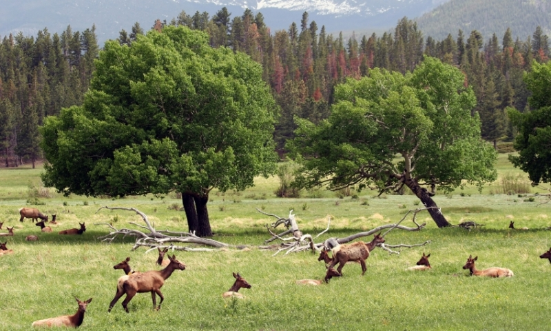 Elk in the Medicine Bow Range