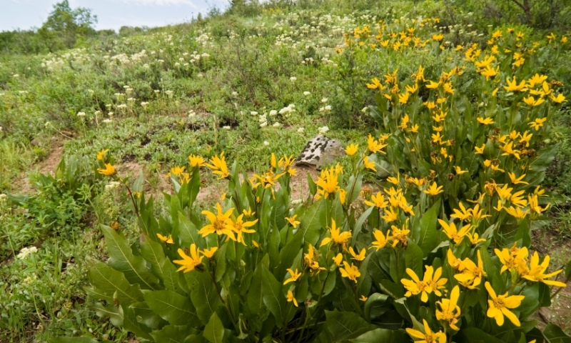 Wildflowers in Routt National Forest