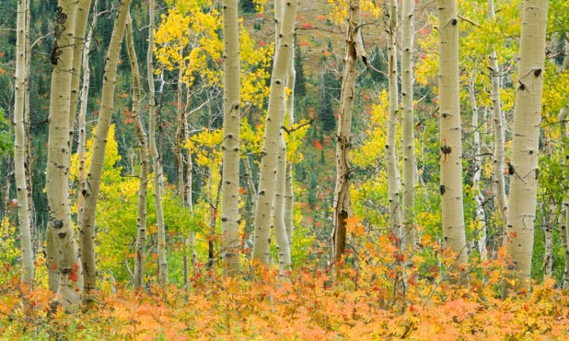Leaves changing in the Routt National Forest